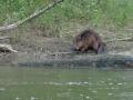 castor-sur-les-bords-de-loire